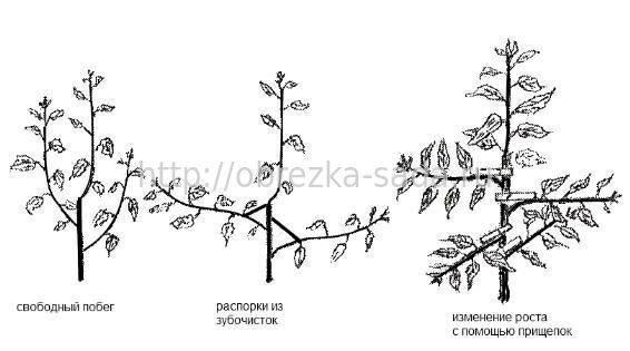 обрезке плодовых деревьев