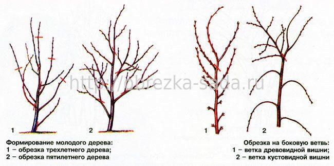 Агротехника выращивания вишни в подмосковье 13