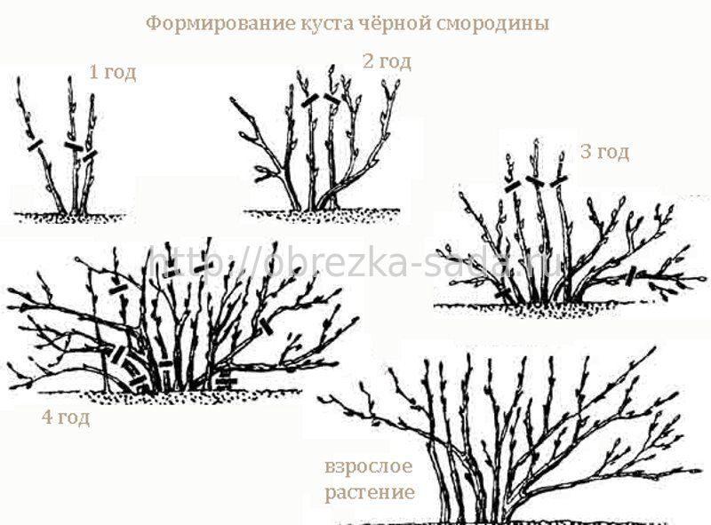 Виды черной смородины